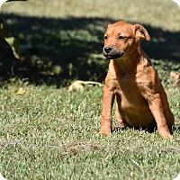 Adopt A Pet :: Calpurnia - South Dennis, MA