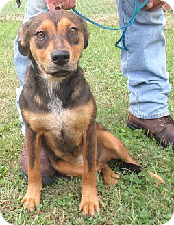 Shepherd (Unknown Type)/Hound (Unknown Type) Mix Puppy for adoption in Reeds Spring, Missouri - Cindy Lou