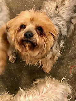Yorkie, Yorkshire Terrier Mix Dog for adoption in Bakersfield, California - Susie