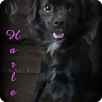 Adopt A Pet :: Harley - Denver, NC