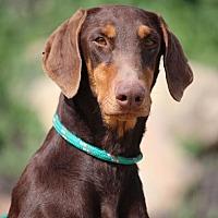 Adopt A Pet :: Ginger - Fillmore, CA