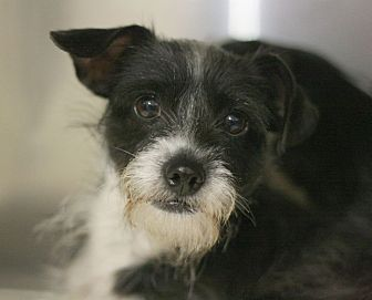 Terrier (Unknown Type, Small) Mix Dog for adoption in Canoga Park, California - Dancer