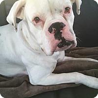 Adopt A Pet :: Cowboy Louie - Austin, TX