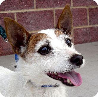Jack Russell Terrier Dog for adoption in Guthrie, Oklahoma - Jerry