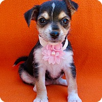 Adopt A Pet :: Cindy - Irvine, CA