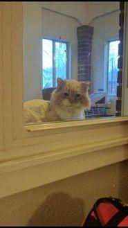 Domestic Mediumhair/Domestic Shorthair Mix Cat for adoption in Denver, Colorado - Potato