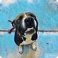 Adopt A Pet :: 408936 Marshmallow - San Antonio, TX