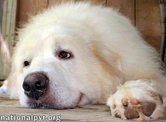 Great Pyrenees Dog for adoption in Beacon, New York - Polar
