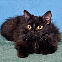 Domestic Longhair Cat for adoption in Lenexa, Kansas - Mother Teresa
