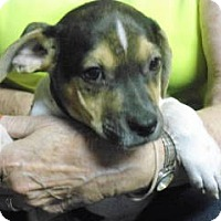 Terrier (Unknown Type, Small) Mix Puppy for adoption in ST LOUIS, Missouri - Nicholas