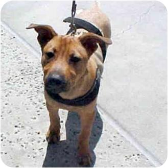 Rhodesian Ridgeback/German Shepherd Dog Mix Dog for adoption in Berkeley, California - Charlie