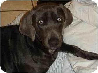 Weimaraner Puppy for adoption in Eustis, Florida - Charlie Blue  **ADOPTED**