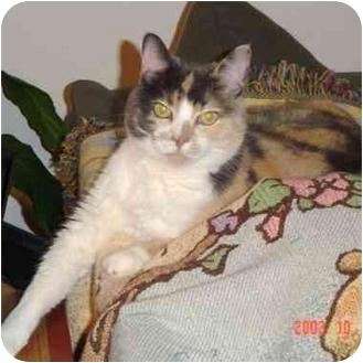 Domestic Shorthair Cat for adoption in El Segundo, California - Squeak