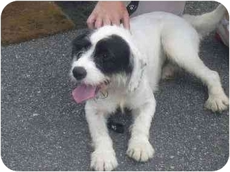 Border Collie/Fox Terrier (Wirehaired) Mix Dog for adoption in West Warwick, Rhode Island - Shaggy