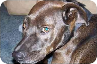 Labrador Retriever/Pit Bull Terrier Mix Dog for adoption in Jacksonville, North Carolina - Choco