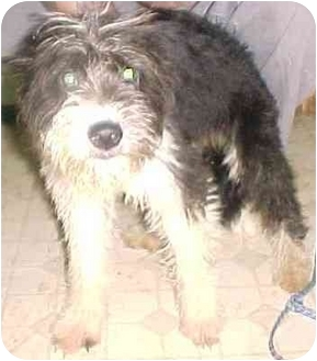Wirehaired Pointing Griffon/Terrier (Unknown Type, Small) Mix Puppy for adoption in Elwood, Illinois - Bella
