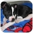 Photo 2 - Jack Russell Terrier/Boston Terrier Mix Puppy for adoption in Republic, Washington - Snowflake
