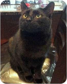 Domestic Shorthair Cat for adoption in Merrifield, Virginia - Darryl
