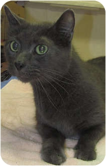 Russian Blue Cat for adoption in Gaithersburg, Maryland - Buddy