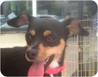 Miniature Pinscher/Feist Mix Dog for adoption in Lincolnton, North Carolina - Jilly
