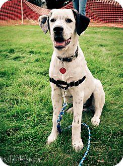 Labrador Retriever/Pointer Mix Puppy for adoption in Salt Lake City, Utah - Pongo
