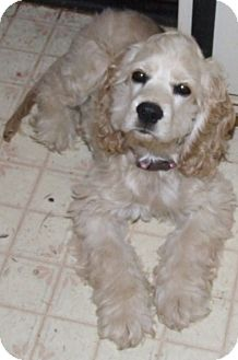 Cocker Spaniel Mix Puppy for adoption in Kalamazoo, Michigan - Aspen