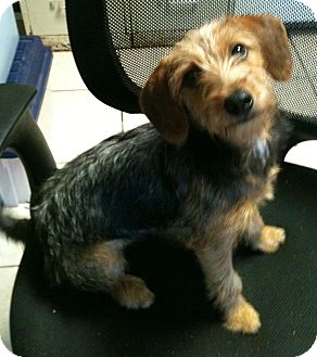 Yorkie, Yorkshire Terrier/Cairn Terrier Mix Dog for adoption in Hammond, Louisiana - Toula