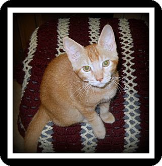 Domestic Shorthair Cat for adoption in Medford, Wisconsin - BLAZE