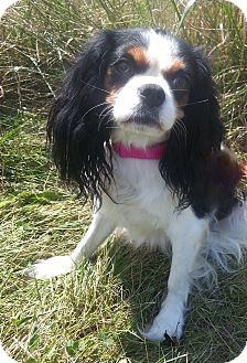 King Charles Spaniel Mix Dog for adoption in Bridgeton, Missouri - Dolly-Adoption pending
