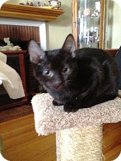 Burmese Kitten for adoption in Cerritos, California - Noah