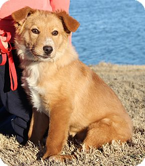 Golden Retriever/Collie Mix Puppy for adoption in Minnetonka, Minnesota - Kunu