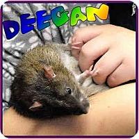 Adopt A Pet :: Deegan - Las Vegas, NV
