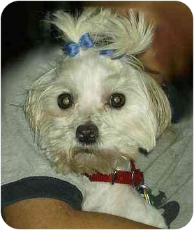 Maltese Mix Dog for adoption in Cincinnati, Ohio - DaisyMay