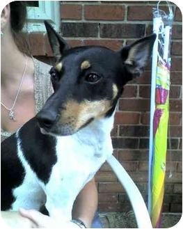 Smooth Fox Terrier Dog for adoption in Louisville, Kentucky - Mojo
