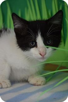 Domestic Shorthair Kitten for adoption in Bradenton, Florida - Wynn