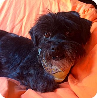 Lhasa Apso Mix Dog for adoption in Corona, California - CHELSEA