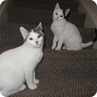 Domestic Shorthair Kitten for adoption in Toronto, Ontario - Parker