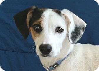 Jack Russell Terrier/Cattle Dog Mix Puppy for adoption in San Francisco, California - Koko
