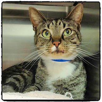 Domestic Shorthair Cat for adoption in Marietta, Georgia - ALFIE- available 2/18