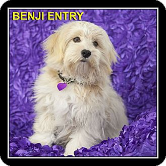 Lhasa Apso Mix Dog for adoption in San Diego, California - Benji