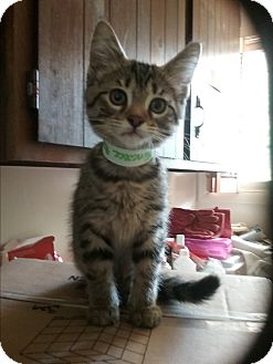 Domestic Shorthair Kitten for adoption in Muskegon, Michigan - tennessee
