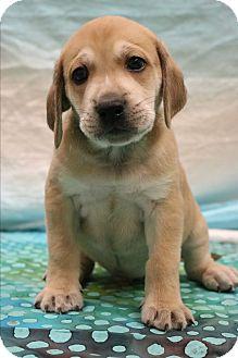 Labrador Retriever/Boxer Mix Puppy for adoption in Bedminster, New Jersey - Ryder