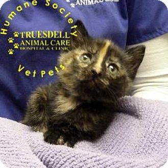 Domestic Shorthair Kitten for adoption in Janesville, Wisconsin - Ginger