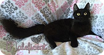 Turkish Angora Cat for adoption in Tampa, Florida - Maleficent