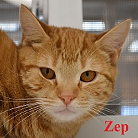 Domestic Shorthair Cat for adoption in Fryeburg, Maine - Zep