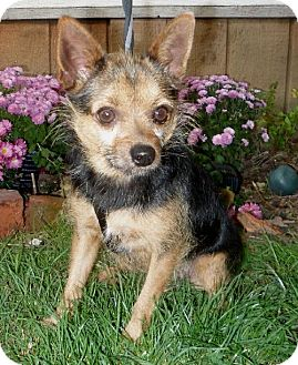 Norwich Terrier Mix Dog for adoption in Tacoma, Washington - Truman