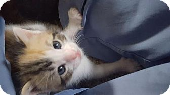 Calico Kitten for adoption in Crown Point, Indiana - St Helens (Adoption Pending)