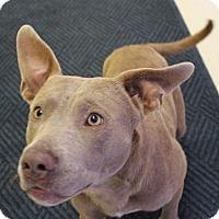Terrier (Unknown Type, Medium)/Weimaraner Mix Dog for adoption in Claremore, Oklahoma - Nigel