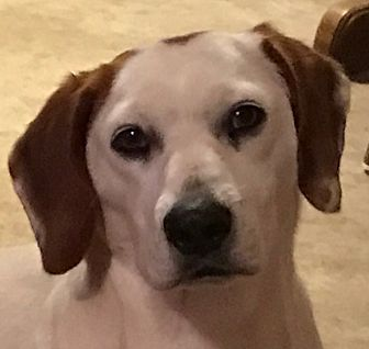 Basset Hound Mix Dog for adoption in Beacon, New York - Duchess