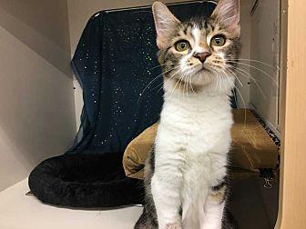 Domestic Shorthair Kitten for adoption in Dallas, Texas - Grace